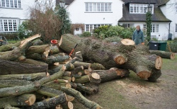 Hampstead oak - felled butt and limbs