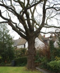Hampstead oak - location of tree