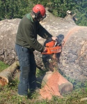 London plane - cross-cutting with chainsaw
